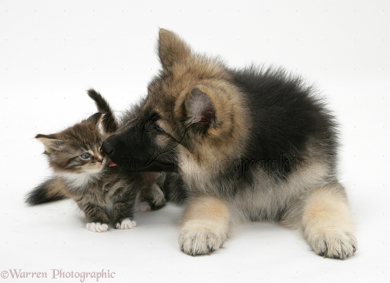 Pets Alsatian Pup With Tabby Kitten Photo Wp18911