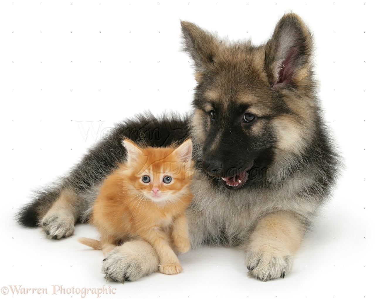 how to bring a puppy home with cats