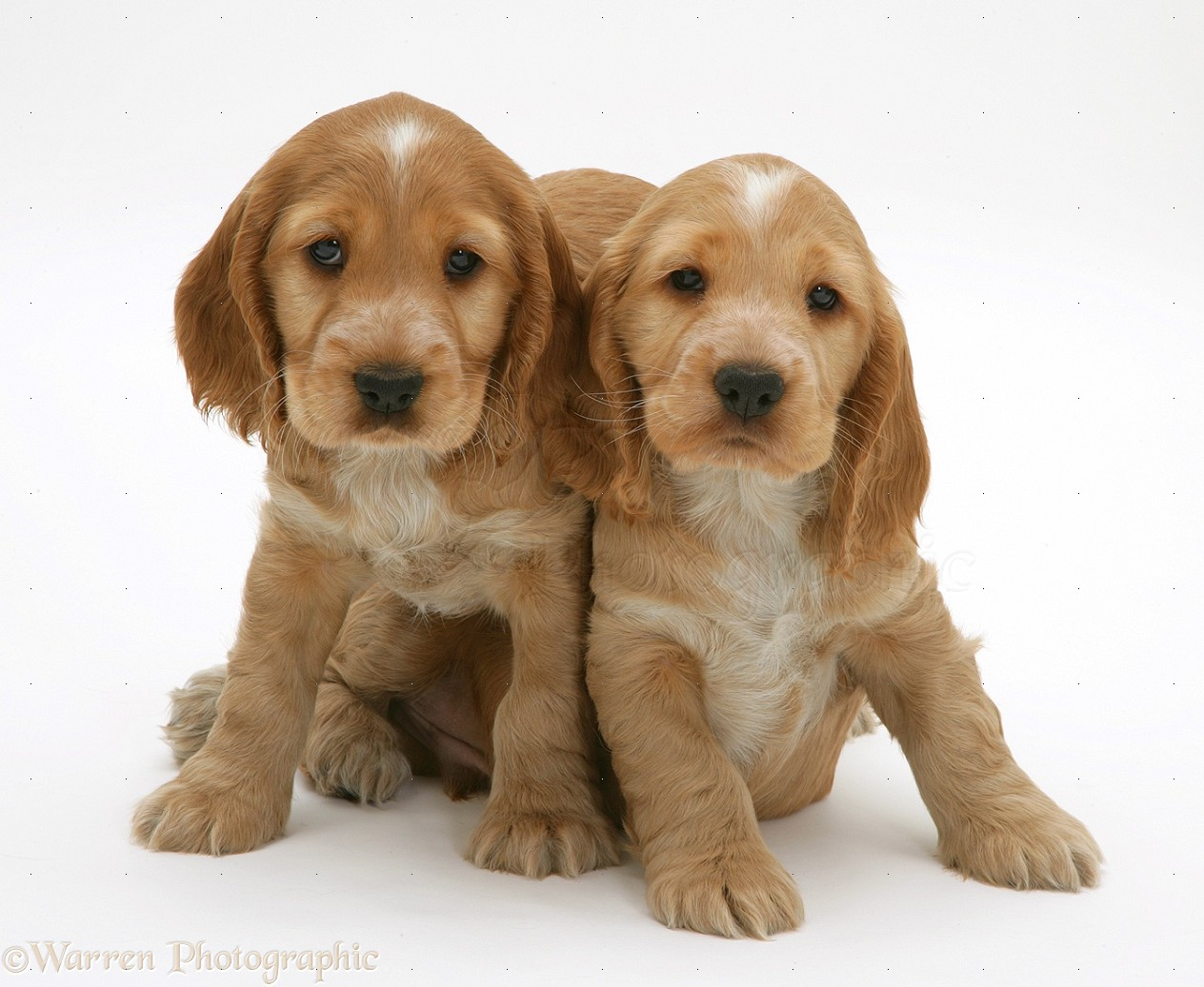 Golden Cocker Spaniel puppies photo - WP18940
