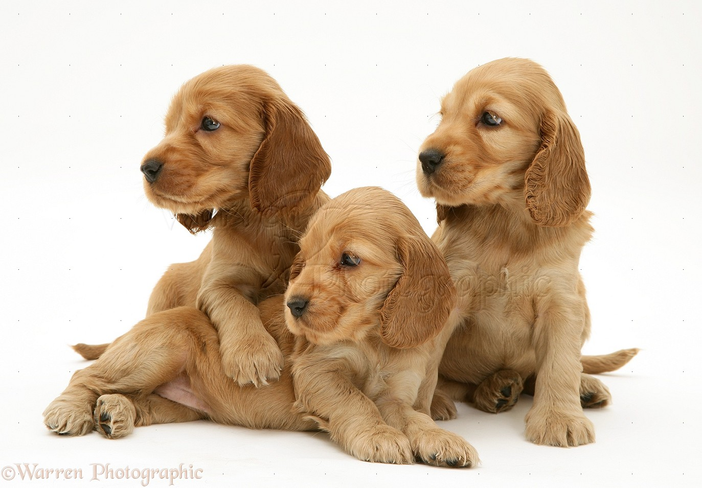 WP18941 Three Golden Cocker Spaniel pups Golden Cocker Puppies