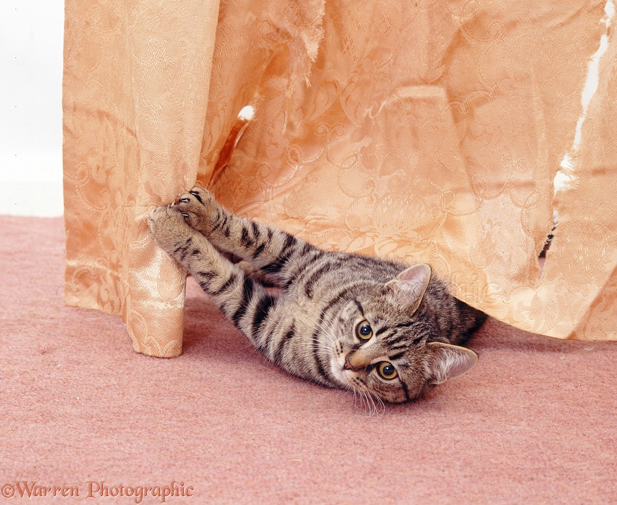 WP18947 Tabby female cat Popocat scratching and shredding a curtain.