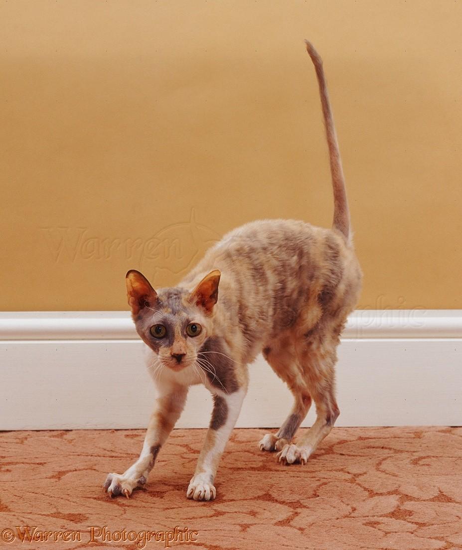 Rex Cat Scratching The Carpet Photo Wp18952