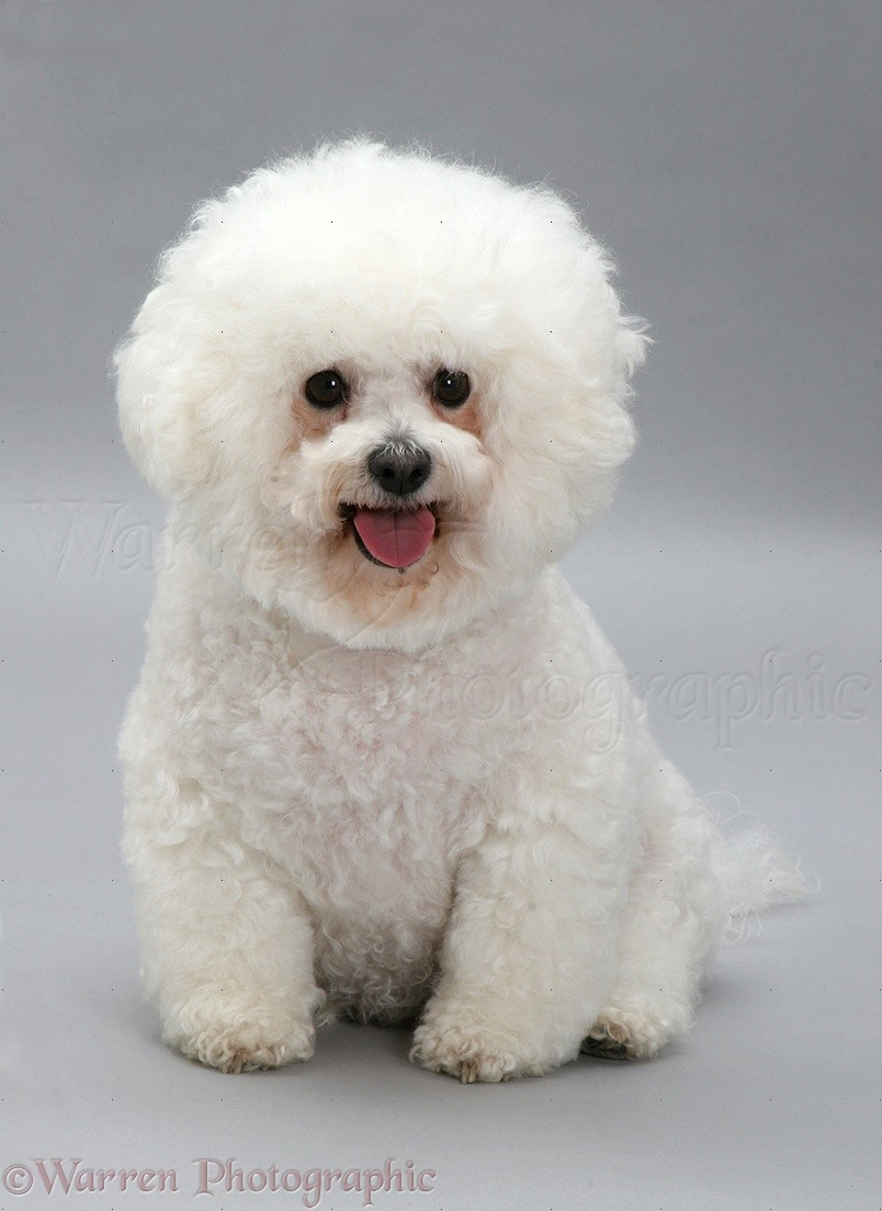 Bichon Frise Recipes — Dishmaps Bichon Frise Akc