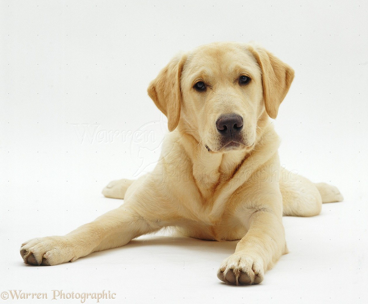 Picture of golden labrador retriever dog