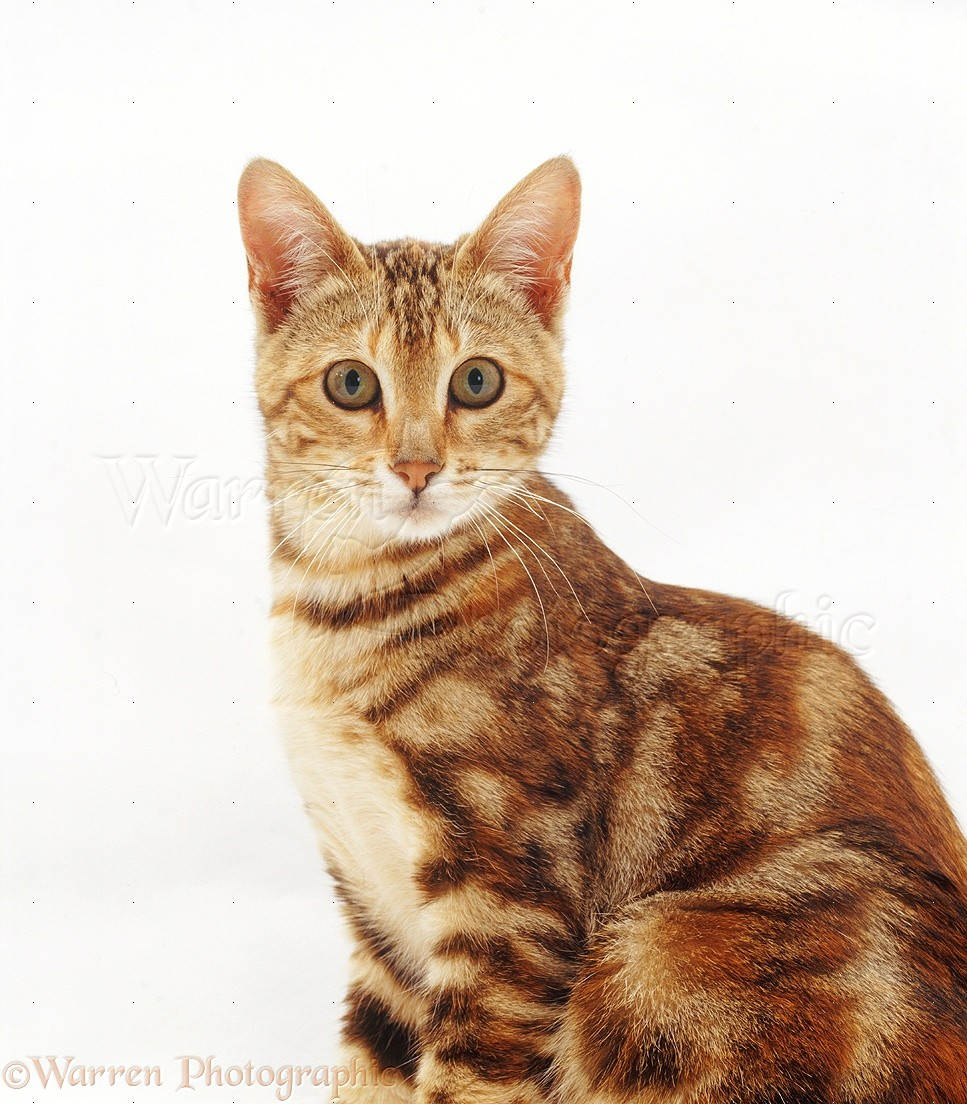 Tortoiseshell tabby cat pictures List of Cat Breeds - pictures-of-cats. org