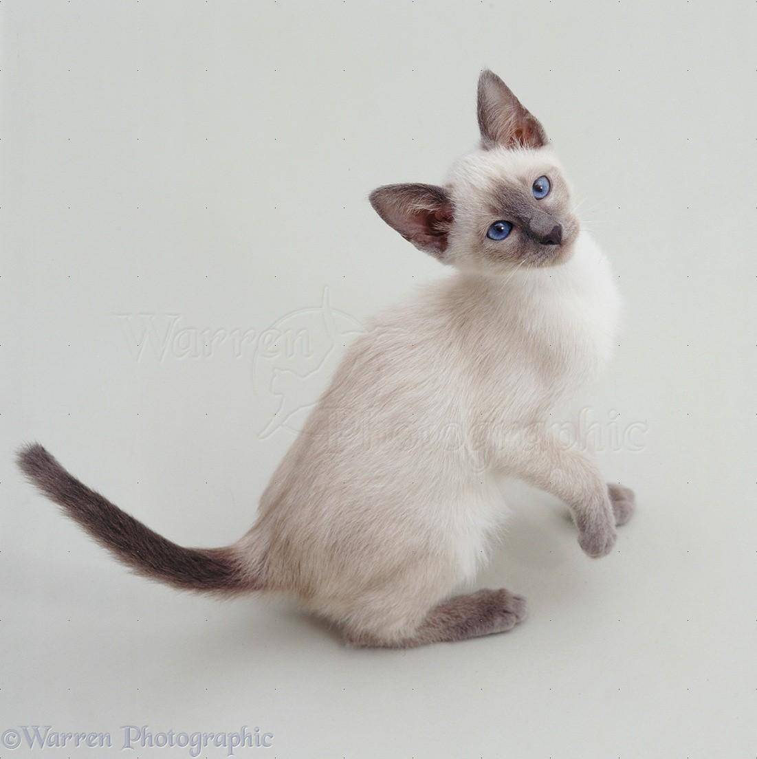 blue point siamese kitten photo wp19070
