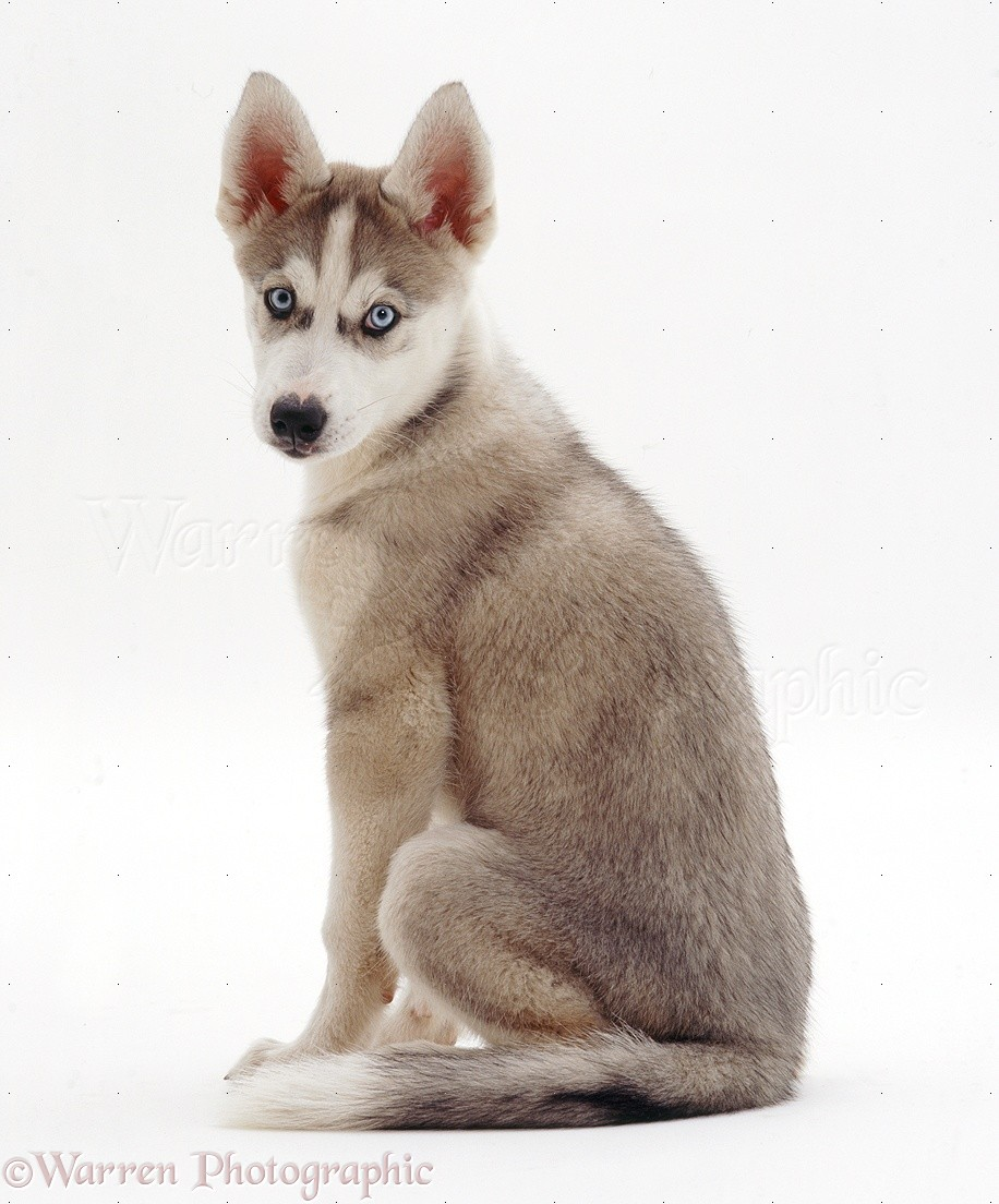 22 Ideas To Organize Your Own Siberian Husky Puppy For Sale