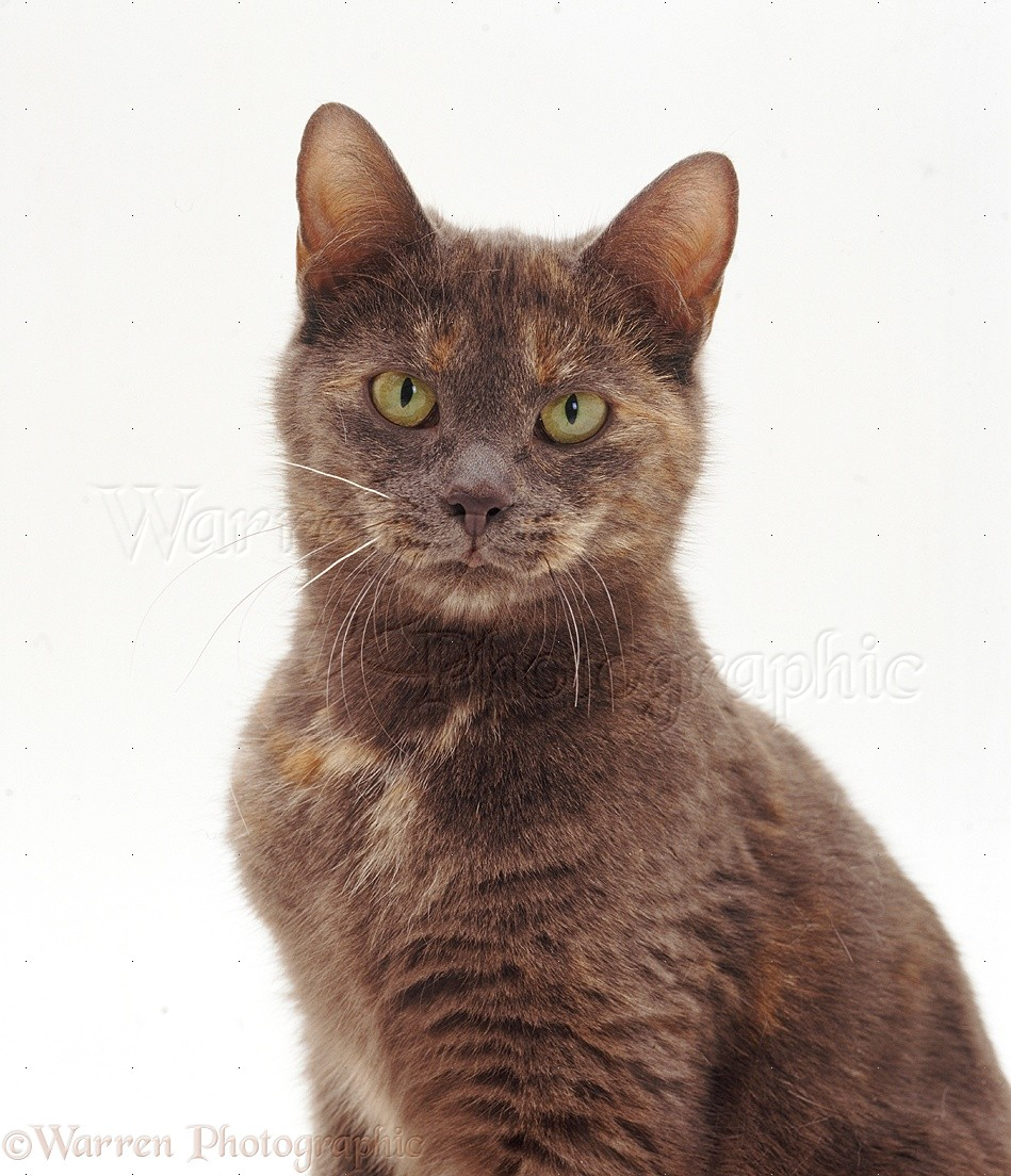 Cat Shorthair Blue