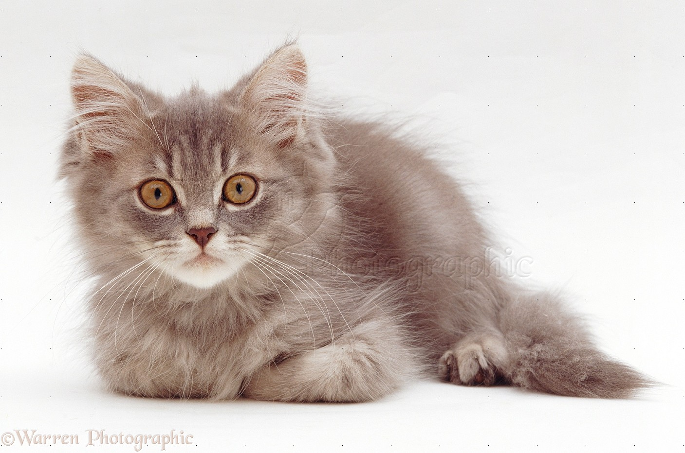 Grey Tabby Pers...