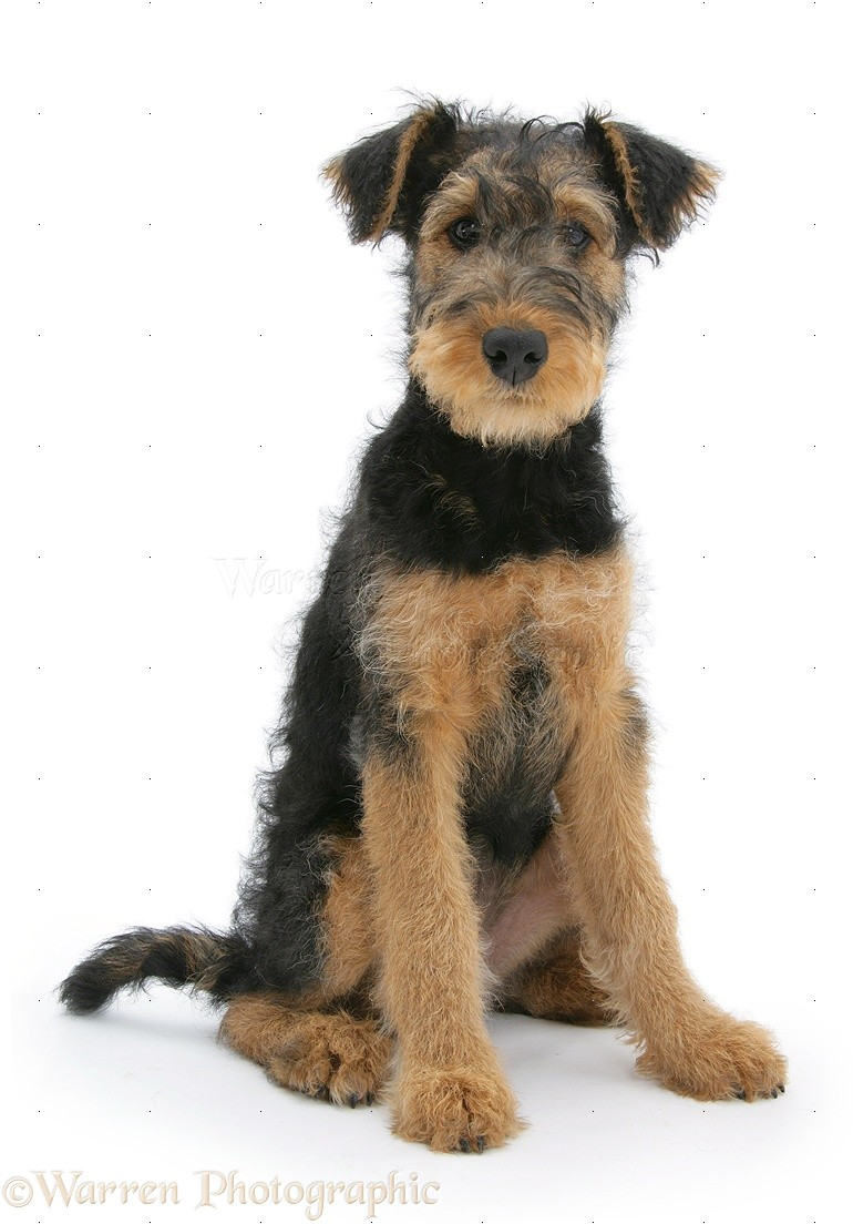 Airedale Terrier Puppy Airedale terrier bitch pup