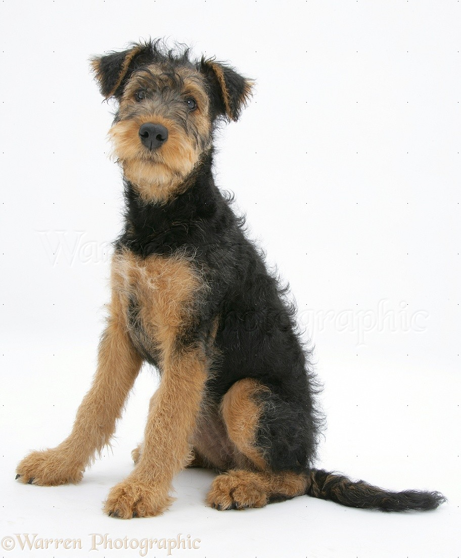 Dog: Airedale Terrier bitch pup photo - WP19186