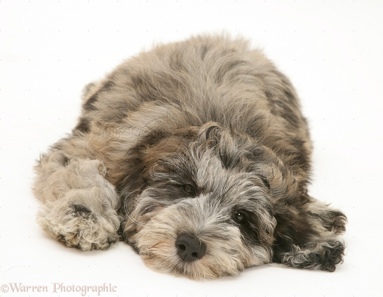 healthypups further Bernedoodle Bernese Poodle Mix furthermore 283163895293998888 additionally 3287858873 furthermore Bernedoodle. on poodle puppies