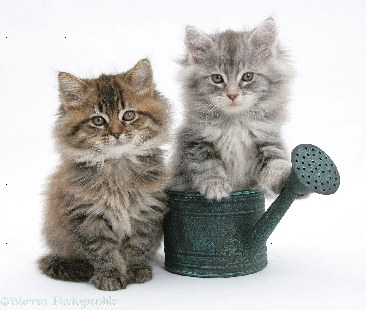 Maine Coon kittens in a small