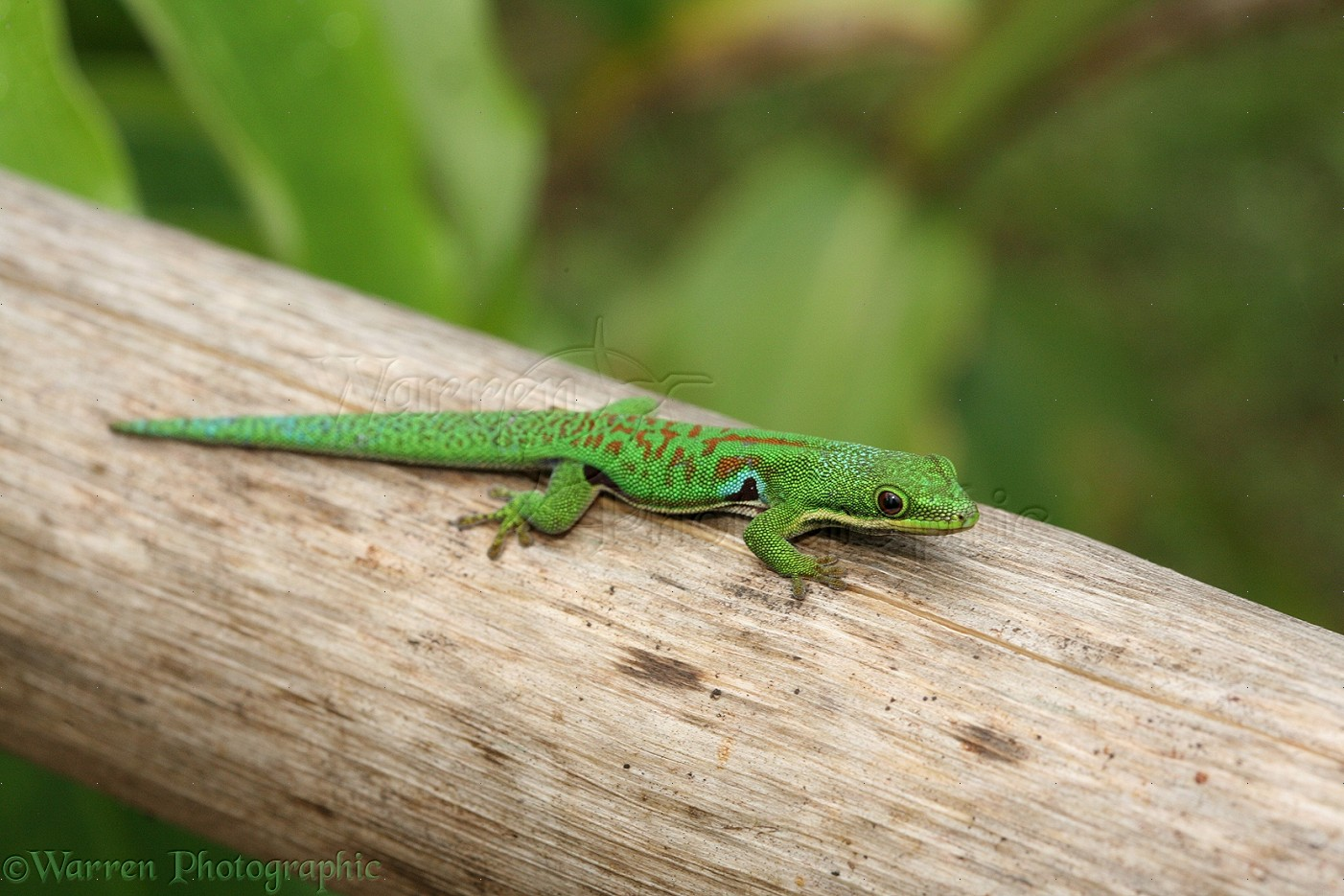 madagascar day gecko photo wp19285