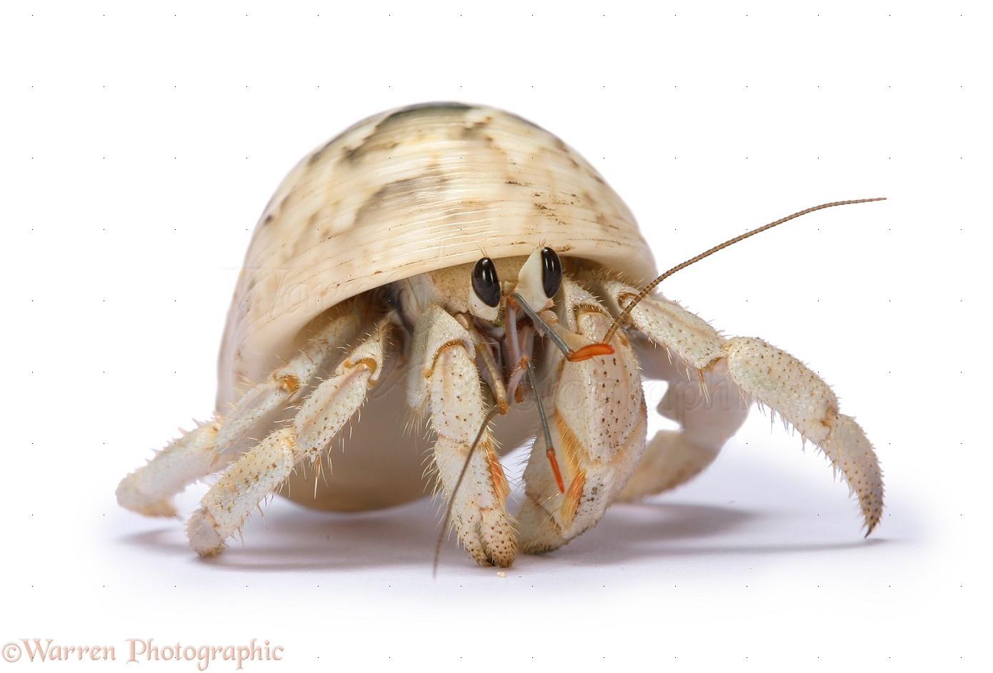 Hermit crab - photo#20