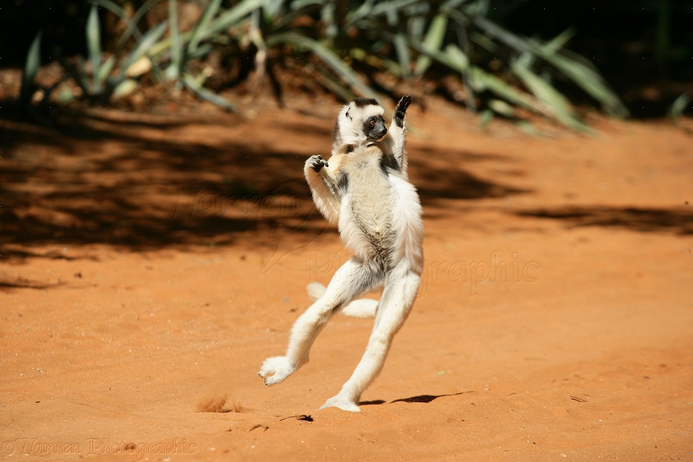 ... verreauxi ) bounding on hind legs to cross open ground. Madagascar