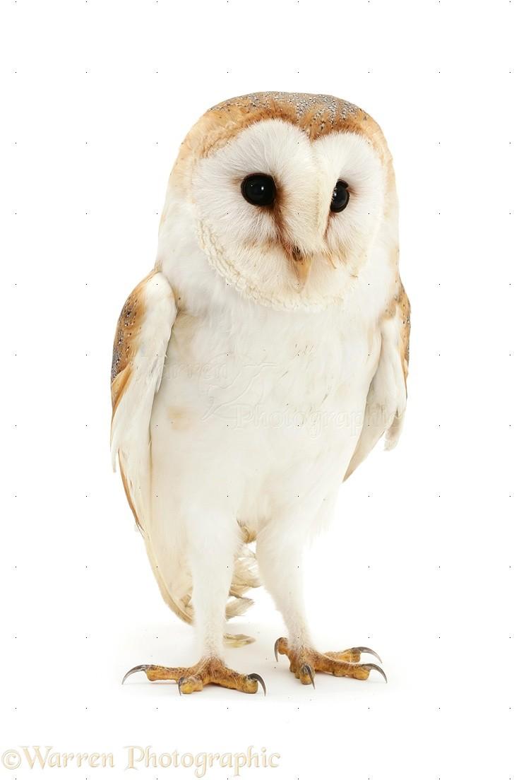 Barn Owl Photo Wp19439