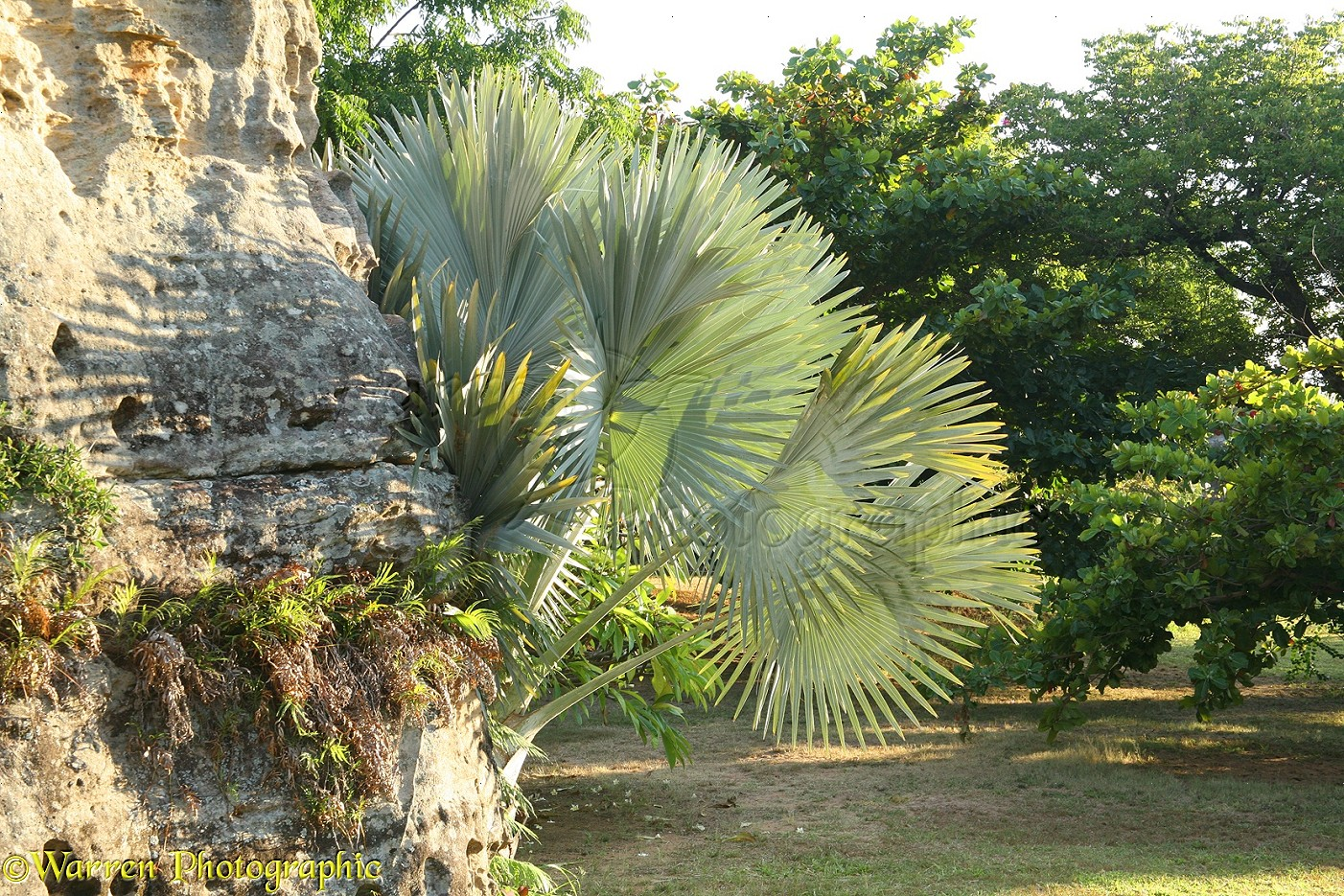 Palm Tree Print Fan palm Isalo photo -...