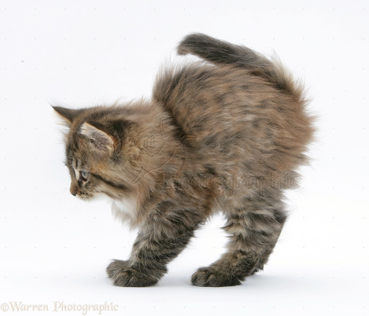 Maine Coon Cats Images With A White Background