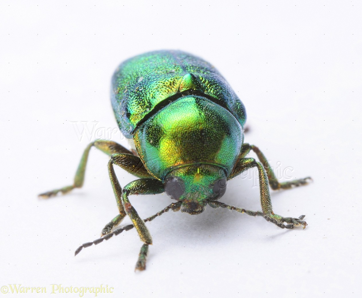 Leaf Beetle Photo Wp19492