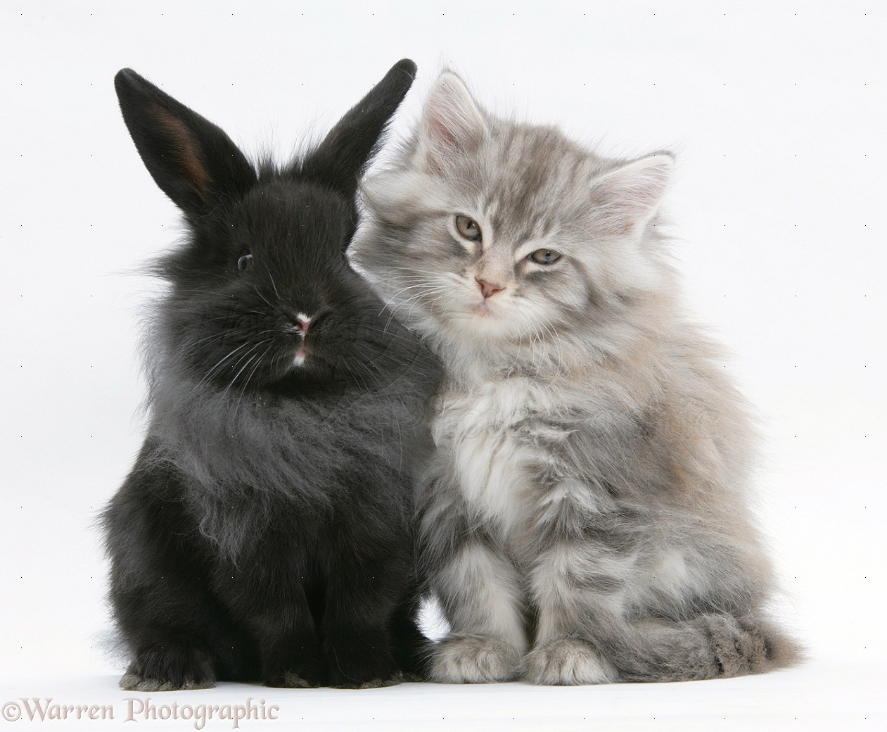 Pets Maine Coon Kitten And Black Rabbit Photo Wp19500