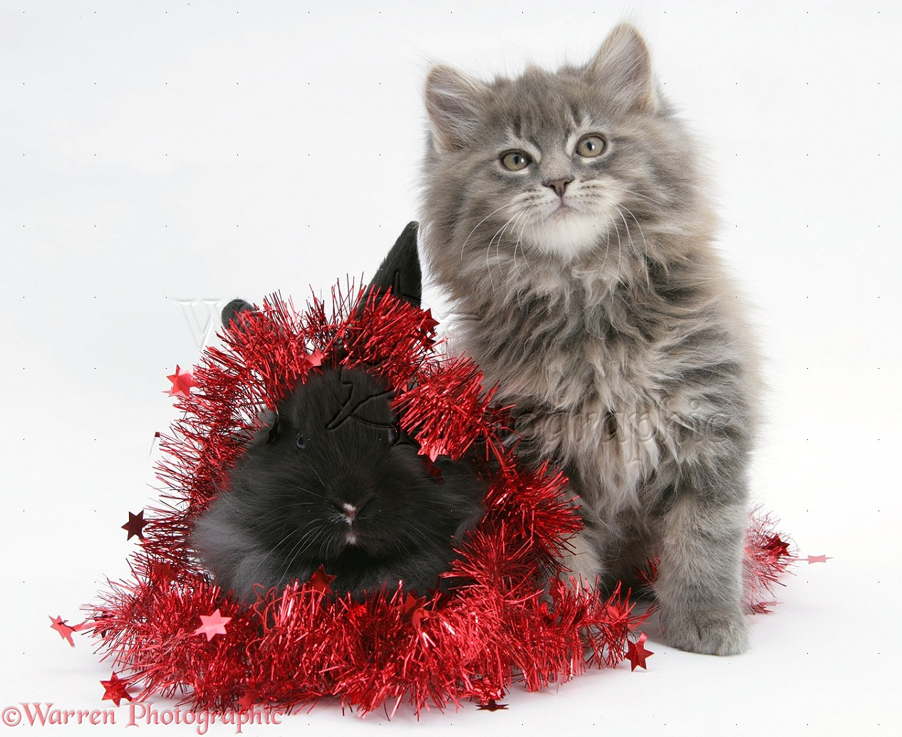 Pets Maine Coon Kitten And Black Rabbit With Red Tinsel