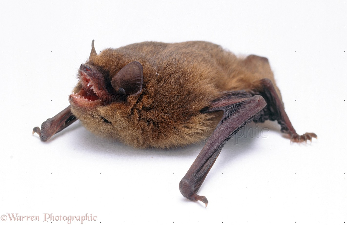 pipistrelle bat photo wp19518