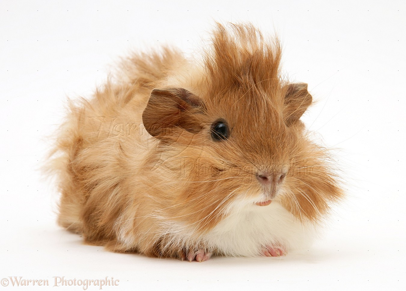discovering guinea pigs essay Free essay: how to take care of your pet guinea pig a guinea pig is a great first  pet he is fairly easy to take care of but can be hard as well.