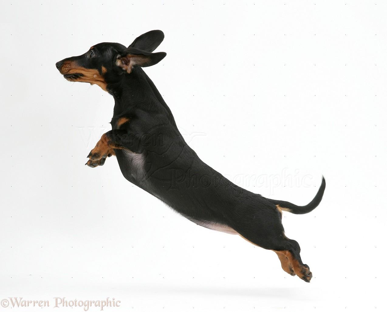 Dog: Miniature Dachshund leaping photo WP19662