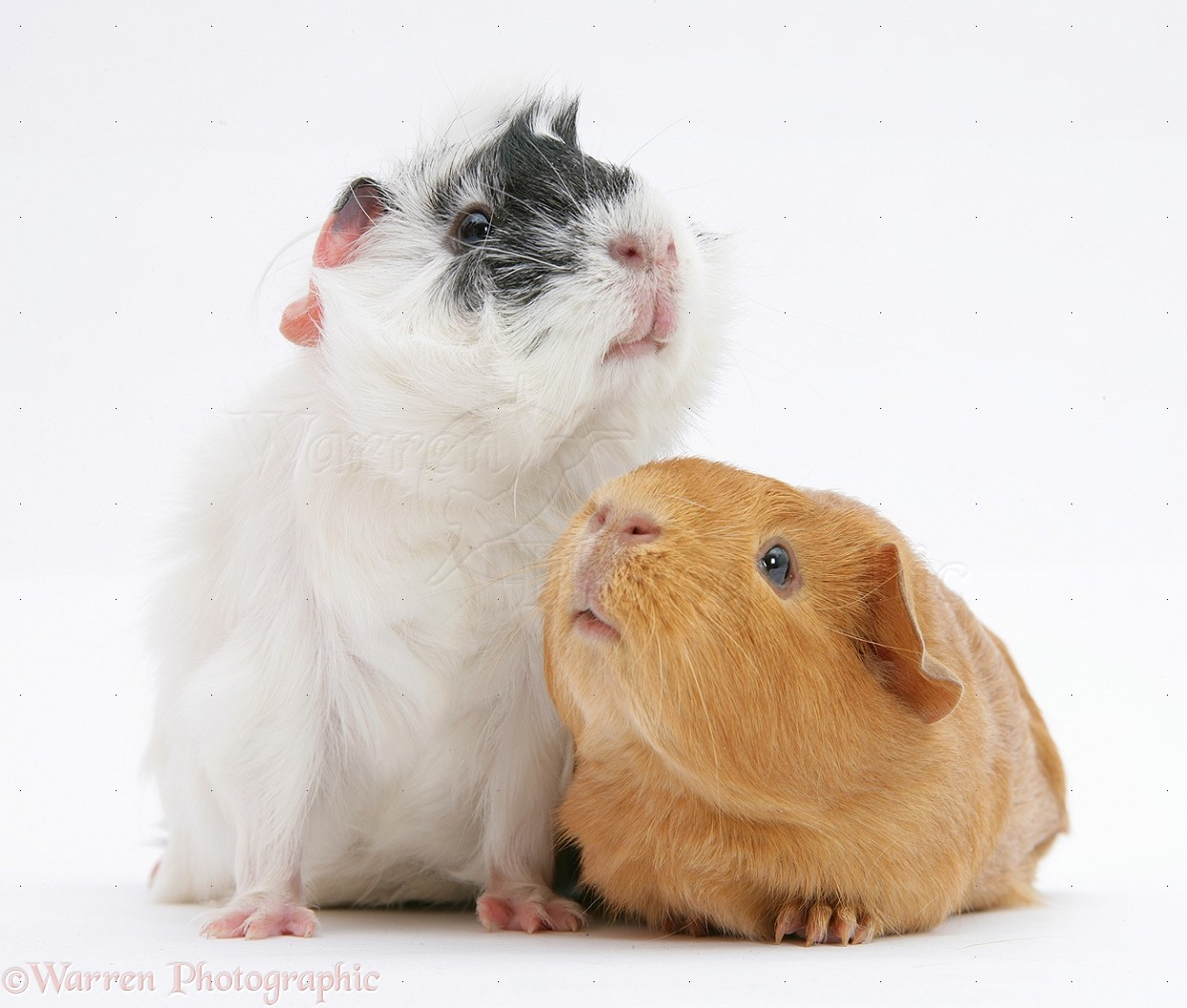 Black-and-white And Red Guinea Pigs Photo WP19875