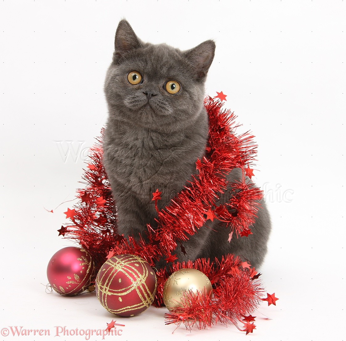 grey kitten with christmas decorations white background