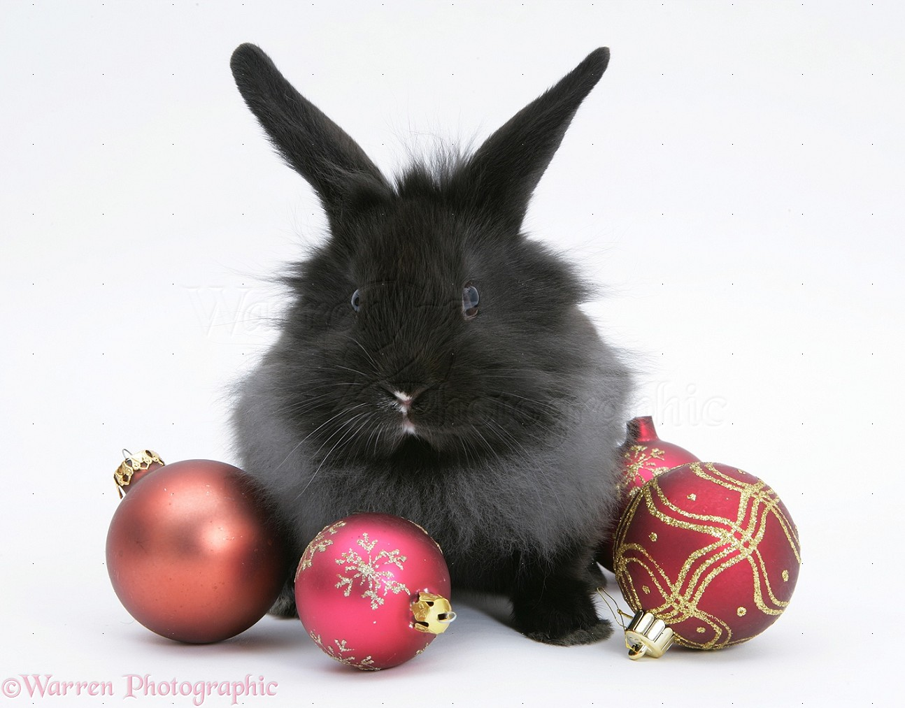 WP19954 Black baby Dutch x Lionhead rabbit with red Christmas baubles.