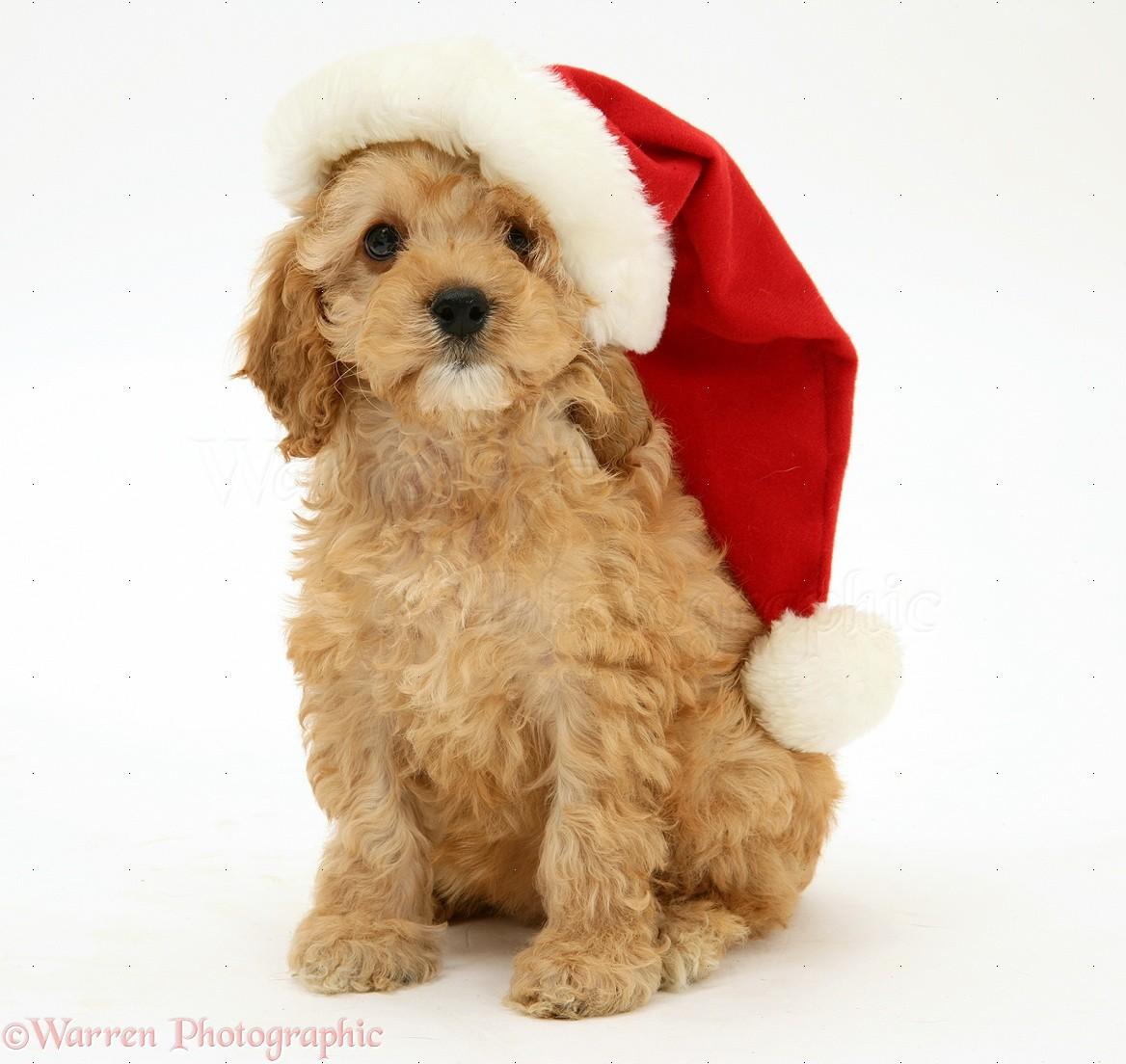 Cockapoo Cockapoos Pinterest All I Want And Christmas