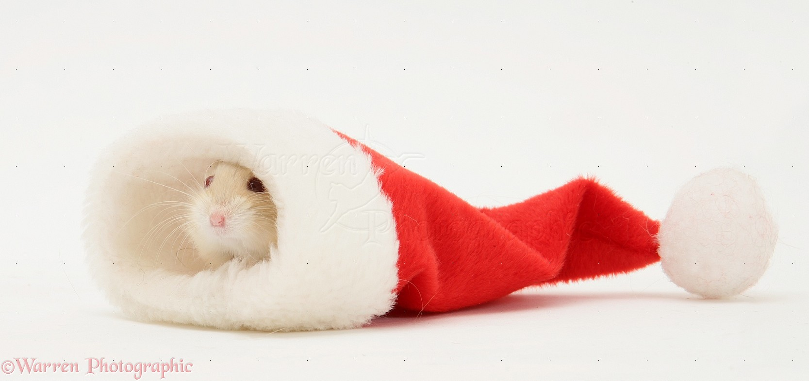 WP19973 Dwarf Russian Hamster ( Phodopus sungorus ) in a Father ...