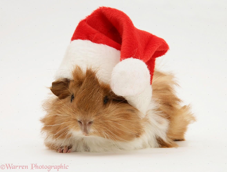 Guinea pig wearing a Santa hat photo WP19974