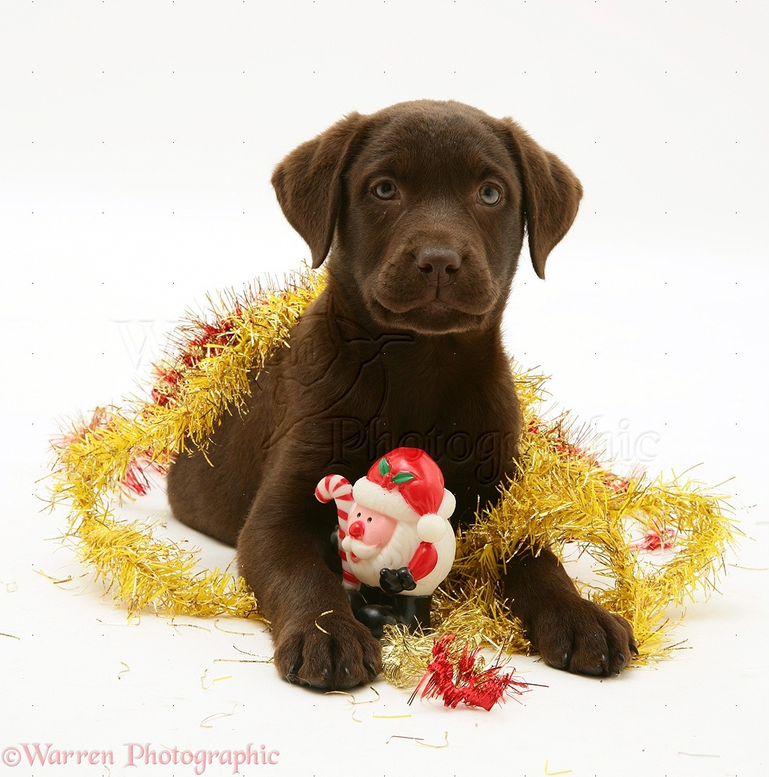 Dog Chocolate Labrador Retriever Pup With Christmas Tinsel Photo Wp20019