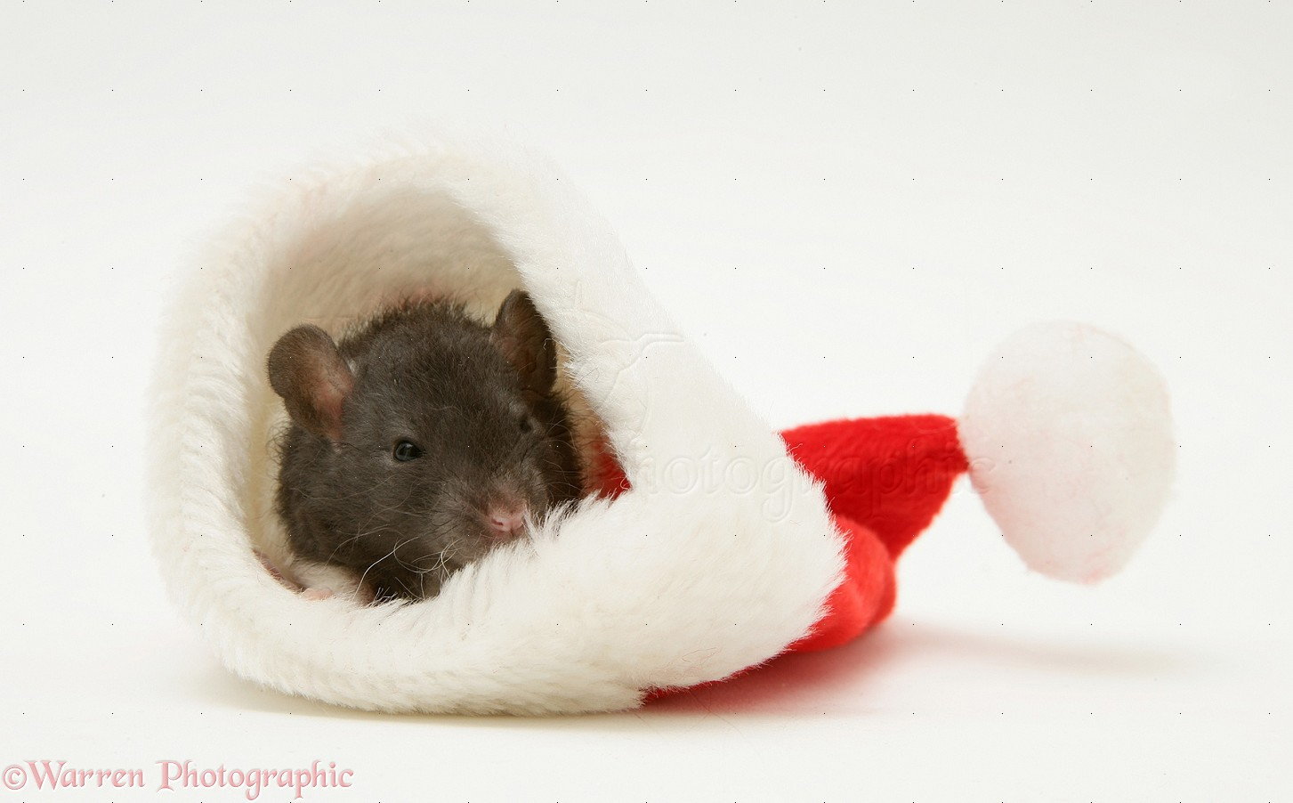 Wp20022 baby rat in a father christmas hat