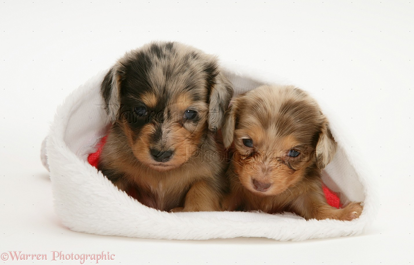Silver Dapple Miniature Dachshund Pups In A Father Christmas Hat Puppy Dog Photos Puppies Dogs And Puppies