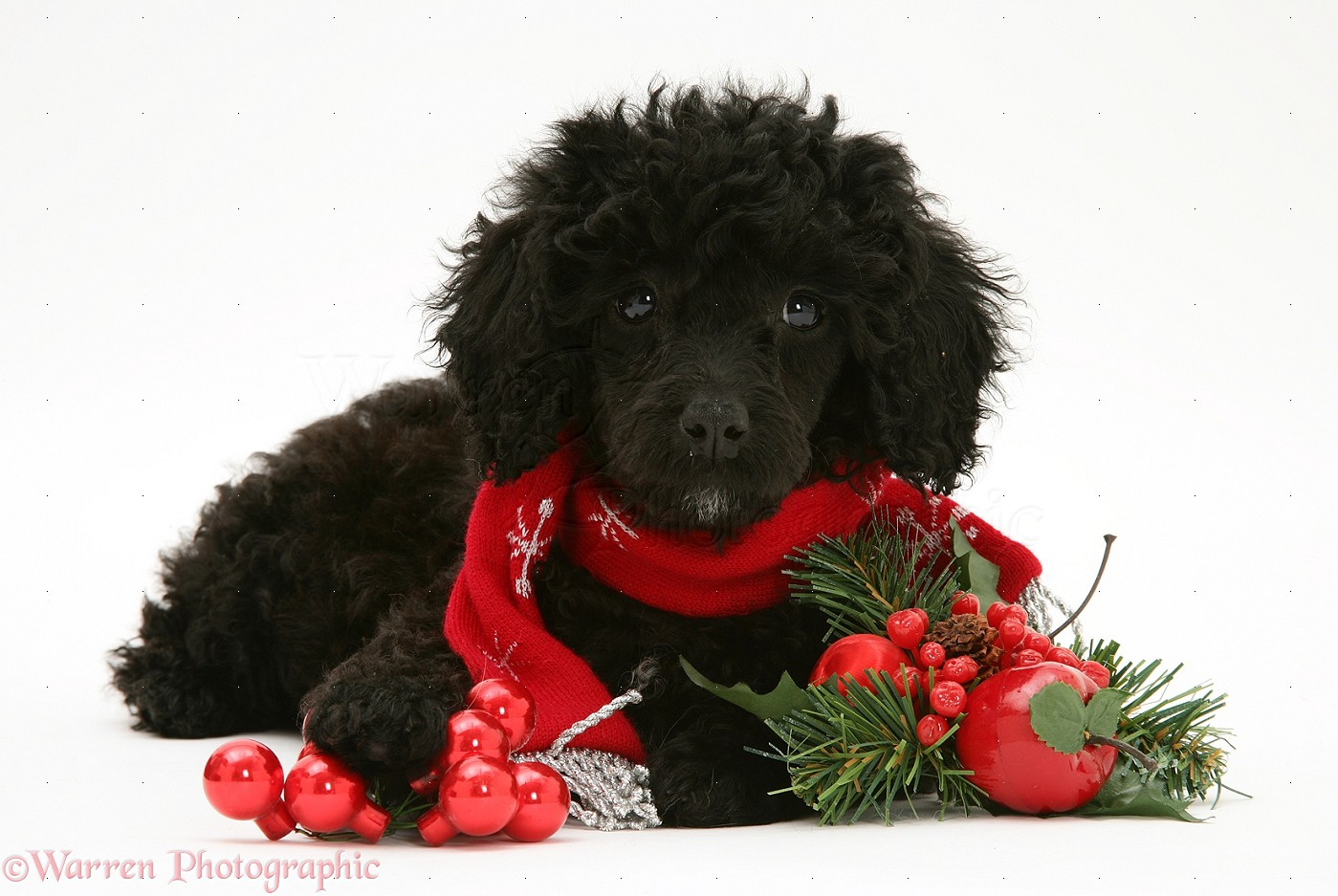 Dog: Black Miniature Poodle at Christmas photo WP20050