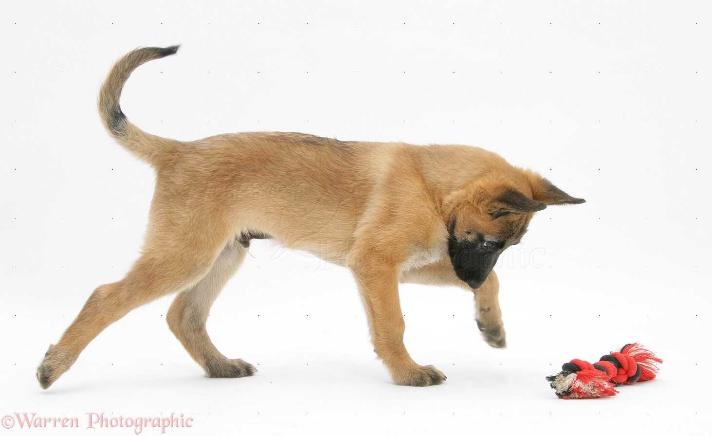 belgian shepherd dog pup photo   wp20069