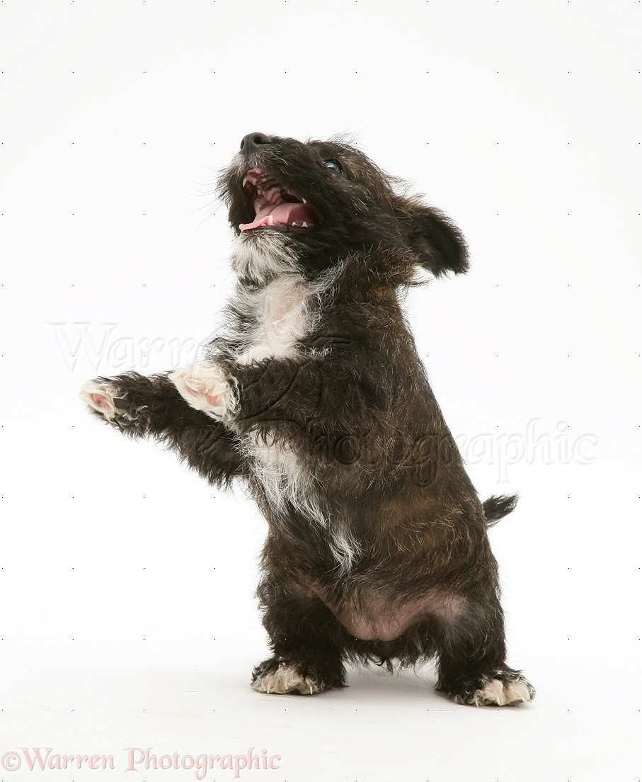Dog Westie X Jack Russell Pup Dancing Photo Wp20070