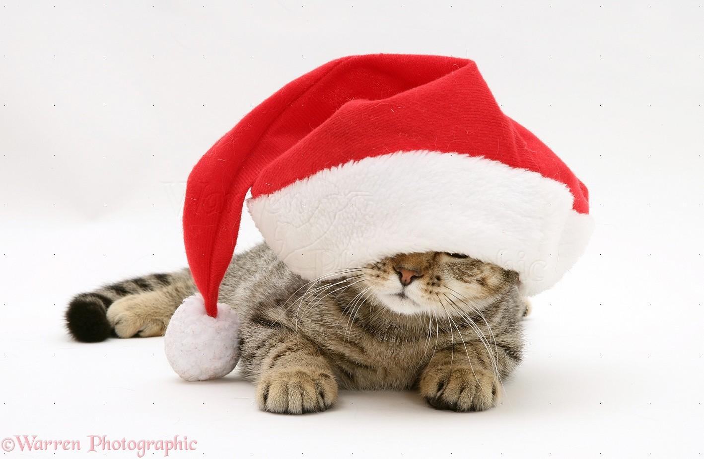 Merry Christmas Modern Tabby Cat Under A Santa Hat Photo Wp20082