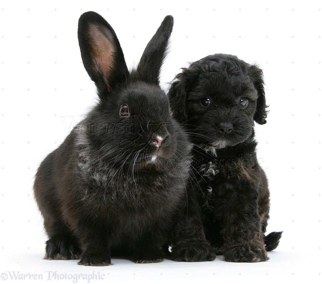 Pets Black Cockapoo Pup 6 Weeks Old With A Black Rabbit