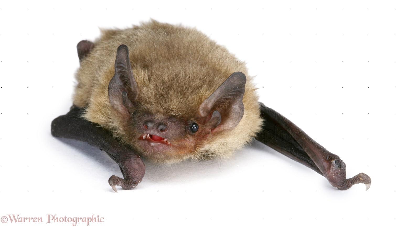 juvenile pipistrelle bat photo wp20141
