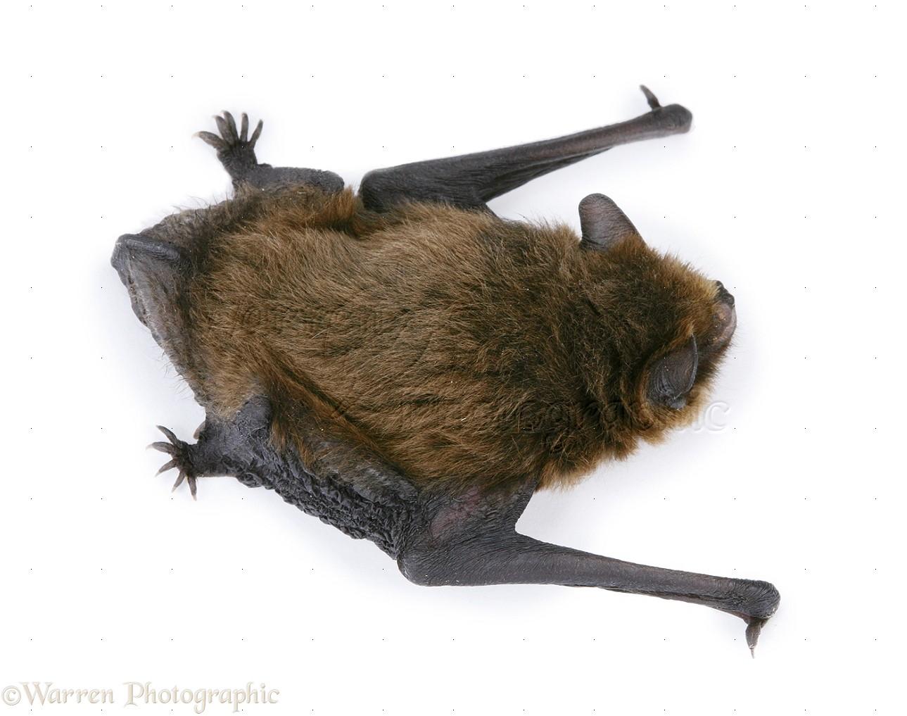juvenile pipistrelle bat photo wp20143
