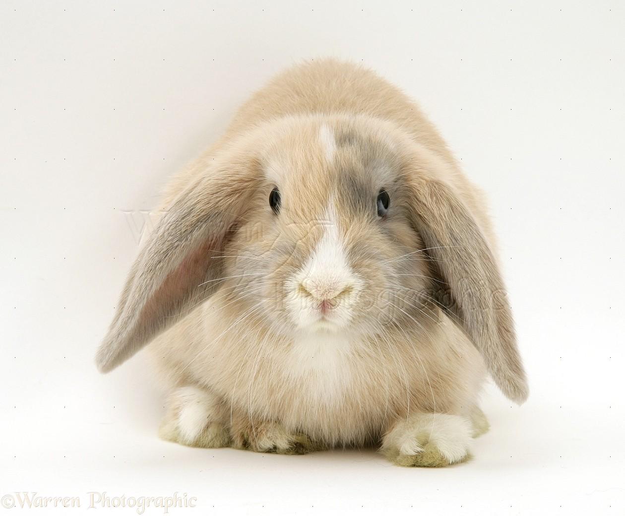 Dwarf lop rabbits - photo#6