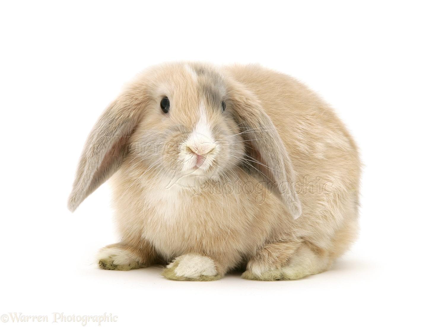 Dwarf lop rabbits - photo#3