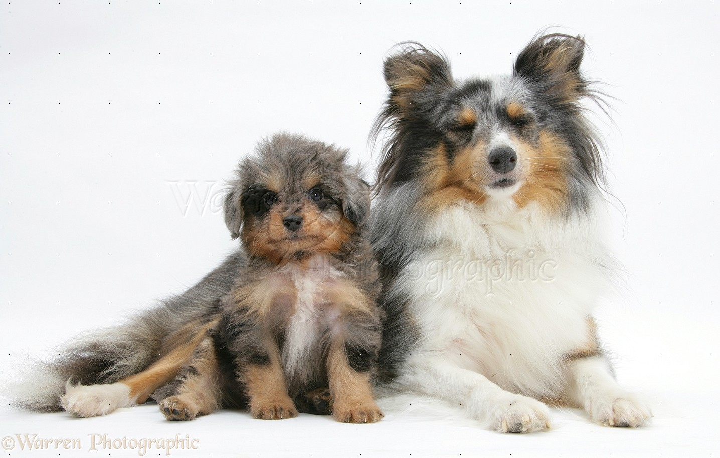 Dogs Sheltie And Sheltie X Poodle Pup Photo Wp20358
