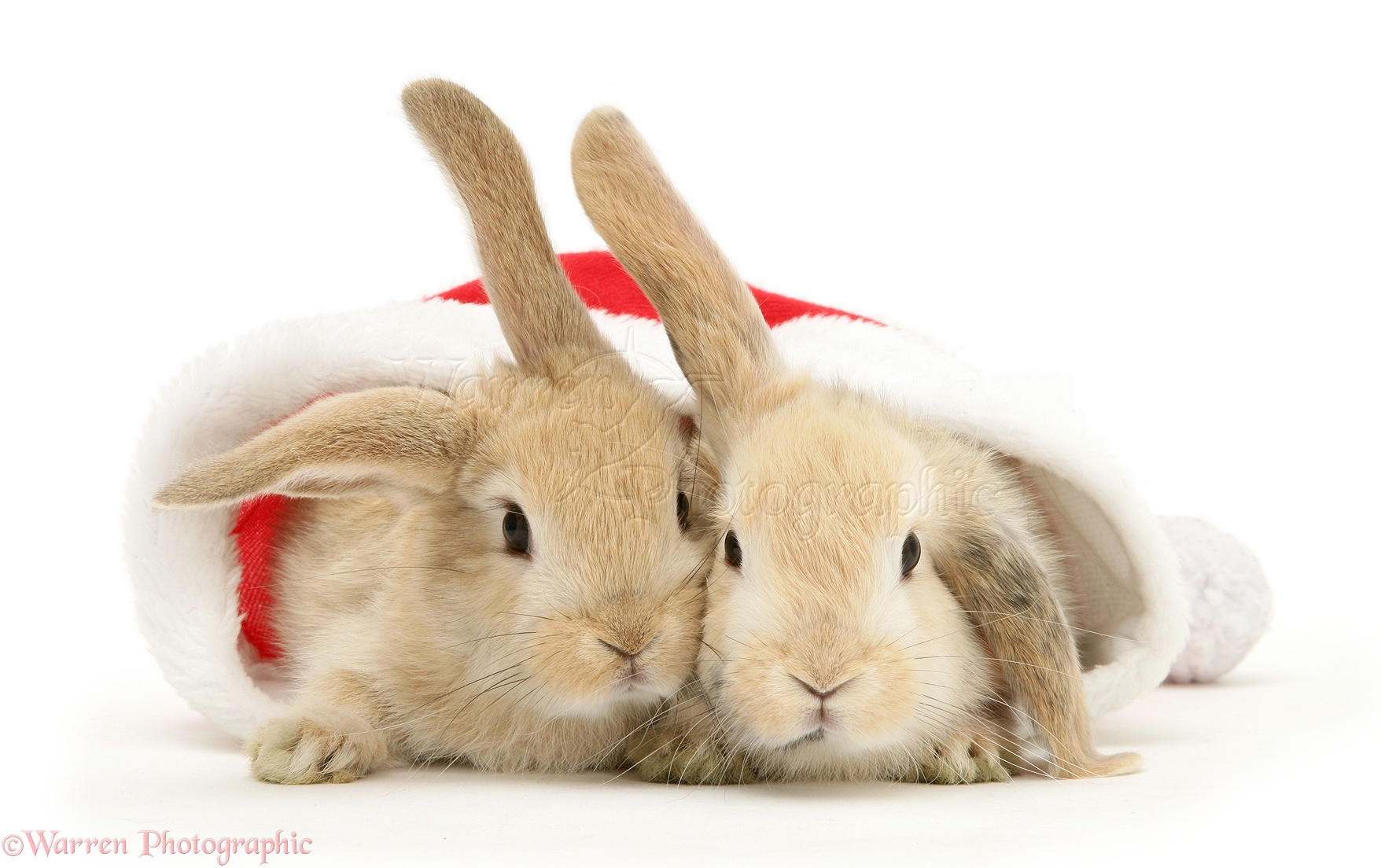 Wp20513 two sandy lop rabbits in a father christmas hat