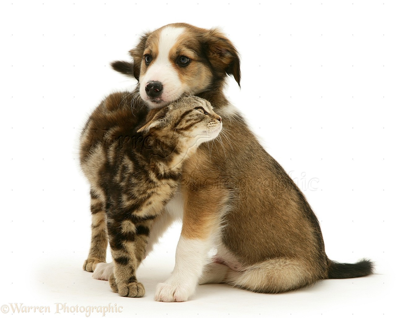 Pets Tabby Kitten And Border Collie Pup Photo Wp20593